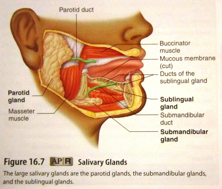 Famous Parotid Gland Anatomy Ppt Elaboration - Anatomy And ...