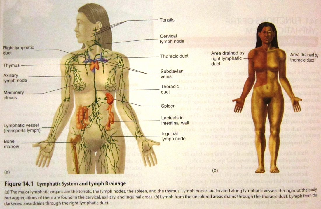 Lymphatic And Respiratory System Human Anatomy And Physiology