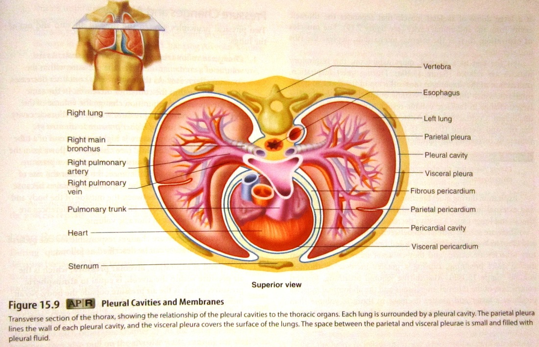 Lymphatic and Respiratory System - Human Anatomy and Physiology